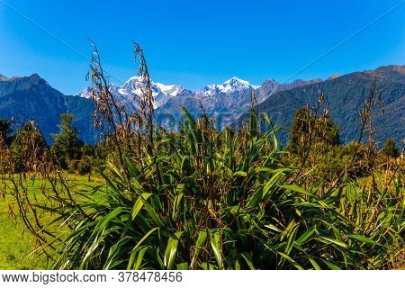 Lush New Zealand vegetation. In the distance snow-capped  highest peak of New Zealand Mount Cook and the Fox Glacier. Summer february day. The concept of exotic, active and photo tourism