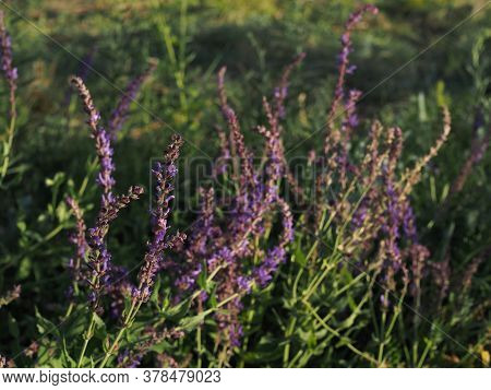 Branches Of Flowering Sage In A Summer Meadow