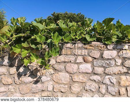 Curly Long Pumpkin Stalks Growing On Top Of A Wild Stone Wall Under Blue Sky In Croatia
