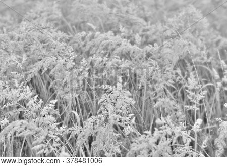 Fluffy Brush Ears Of Wild Grass In A Light Haze And Uniform Light. Neutral Tone The Background