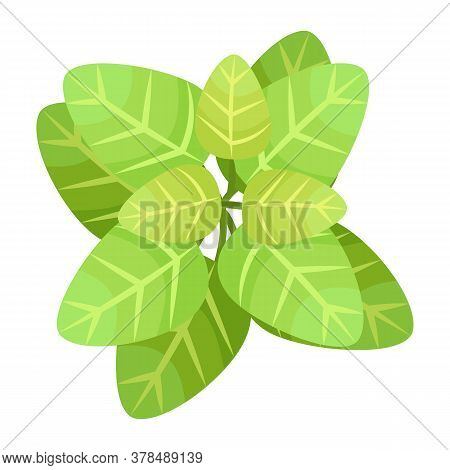 Green Leaves Of Basil , Natural Flavoring, Leaves Of Basilic Plant Isolated At White Background. Hea
