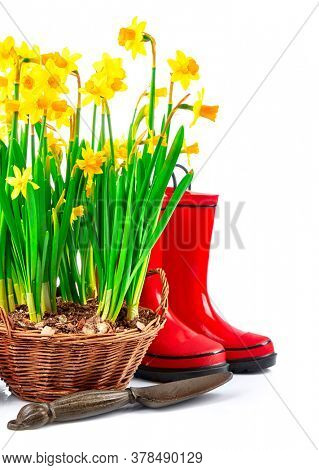 Spring gardening flower narcissus still life with red boots, isolated on white background.