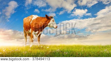 Cow at green lawn at background blue sky and white clouds. Picturesque landscape at sunset panorama.