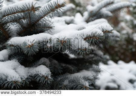 Picea Pungens Evergreen Coniferous Tree. Blue Spruce In The Forest, Fluffy Snow On The Spruce Branch