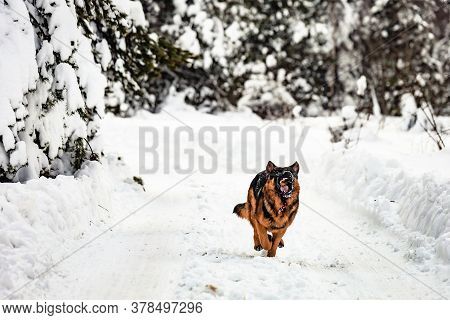 Portrait Of Young German Shepherd Dog Running Down The Road Covered With Snow