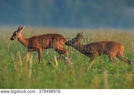 Roe Deer Buck Sniffing Doe On Field In Summer Nature.