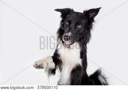 Close Up Portrait Of A Adorable Purebred Border Collie Dog Looking Aside Raising Up One Of His Front