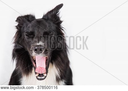 Full Length Portrait Of Tired Purebred Border Collie Dog Yawning Isolated On White Background With C