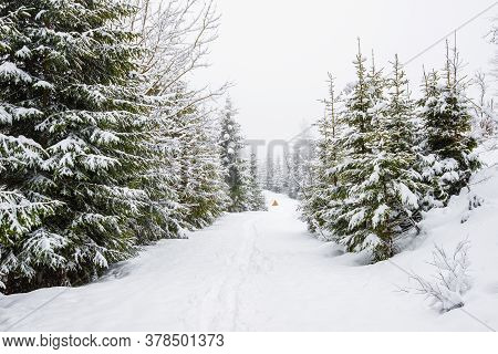 Bewitching Stern Panorama Of Tall Fir Trees Covered With Snow Grow In The Forest In Winter Frosty Da