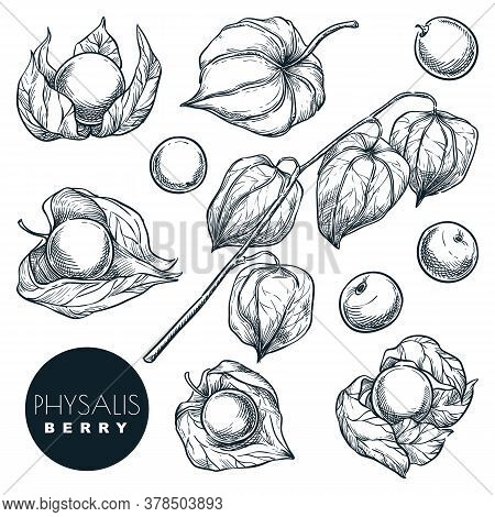 Ripe Physalis Berries On Branch, Sketch Vector Illustration. Sweet Gooseberry, Isolated Design Eleme