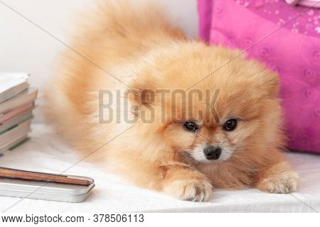 Small Dog Orange Pomeranian Lies Between The School Briefcase, Pencil Case And A Stack Of Textbooks