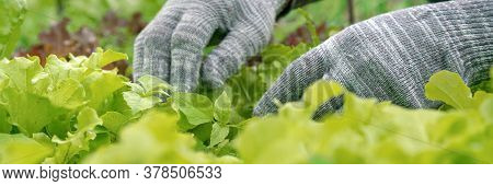 Professional Gardener In Grey Gloves Works With Mint Leaves With Green Lettuce On Foreground In Vege