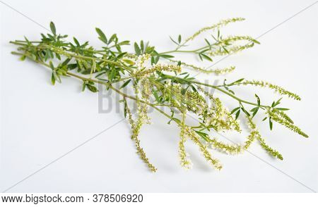 Melilotus Albus, Known As Honey Clover, White Melilot, Bokhara Clover, White Sweetclover And Sweet C