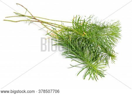 Leaves Euphorbia Cyparissias, The Cypress Spurge. Isolated