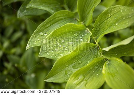 Closeup Nature View Of Green Leaves With Raindrops In The Garden