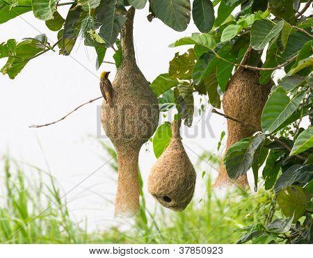 Уивер Baya Птичье гнездо