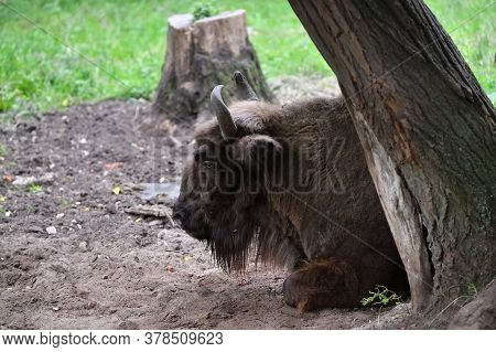 Portrait Of The European Bison (bison Bonasus), Also Known As Wisent Or The European Wood Bison. Pri