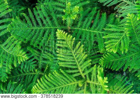 Background Pattern Of Araucaria Luxurians Plant Leaves. Endangered Plants.