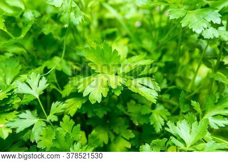 Green And Fresh Coriander Plant Also Known As Cilantro Or Chinese Parsley In Growth Phase At The Veg
