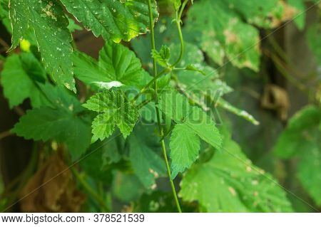 Poison Ivy Leaves Make For Easy Identification Of The Plant To Avoid The Allergic Reactions.