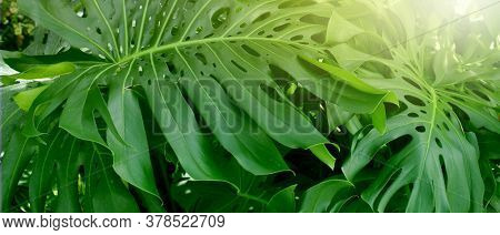 Tropical monstera plants. Nature green horizontal background.
