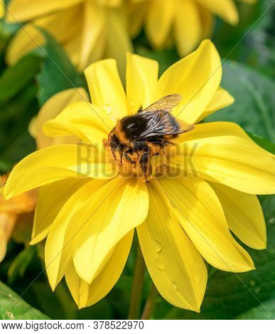 Bumble Bees Sucking Nectar From The Blossom Of Maximilian Sunflower, Helianthus Maximiliani.