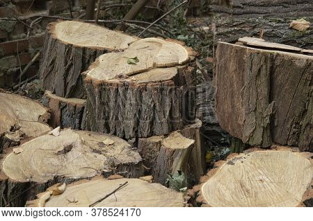 Chopped Tree Stumps For Firewood Outdoor Near House