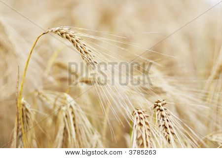 Golden Ears Of Barley