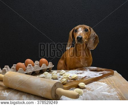 Red-haired Dachshund Prepares Dumplings. The Dog Sits At The Table With Dumplings Soiled In Flour.