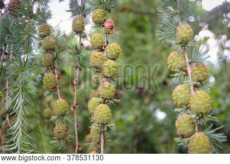 Young Cones On The Branches Of The Pond Pine (also Known As Pinus Serotina Or Marsh Pine Or Pocosin