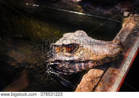 The Crocodile Stuck His Head Out Of The Water And Closely Watches What's Going On Around Him.