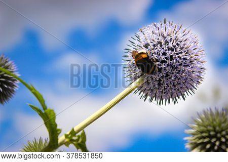 Flower Head Of Echinops Sphaerocephalus, Known By The Common Names Glandular Globe-thistle, Great Gl