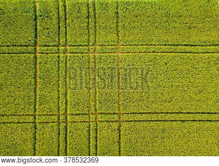 Lines In The Blooming Rape Field With Lines And Color Shades Of Yellow And Green