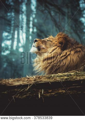 The Lion Of Berber, The Lion Enjoys The Last Rays, Is Satisfied.