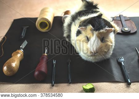 Guinea Pig On The Background Of Tools For Crafting Leather. Protection Of Guinea Pigs. Say Yes To Ec