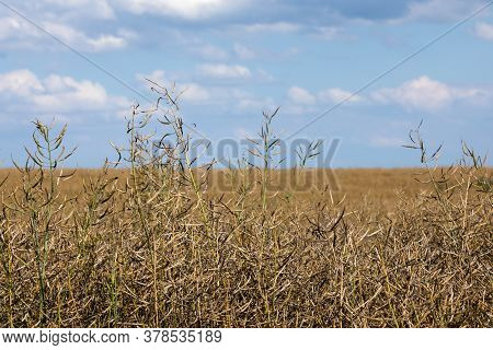 Rape Ripe, Dry Rape In The Field. Agricultural Oil Production, Ripe Dry Rapeseed Before Harvest In S