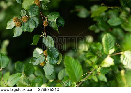 Beech Tree Branch With Beech Seeds. Beech Nuts. The Concept Of Botany