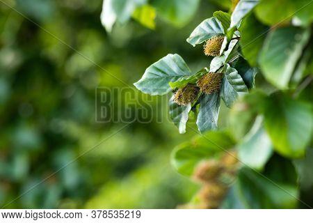 Beech Tree Branch With Beech Seeds. Beech Nuts. Summer Forest Background
