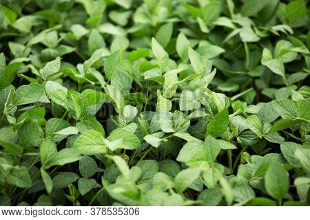 Green Soybean Leaves. Legumes And Healthy Eating. Agricultural Industry.