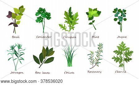 Cooking Herbs Illustration Set. Basil, Coriander, Mint. Food Concept. Can Be Used For Topics Like Me
