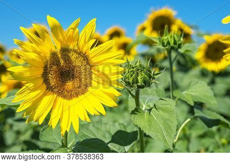Sunflower Field Landscape, Sunflower Seeds, Bright Yellow Petals, Green Leaves. Beautiful Sunflowers