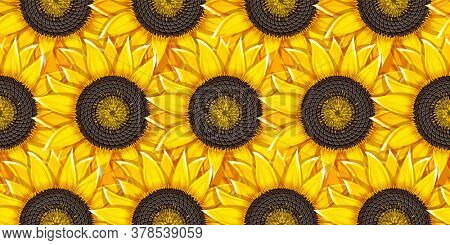 Sunflowers agricultural plant heads with oil seeds. Seamless background. Illustration.
