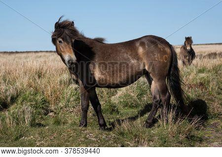 Wild Exmoor Pony Horse With Impressive Mane In Somerset Uk