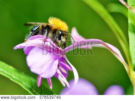 Bumblebee Collects Nectar From Flowers.the Insect Is Very Active In Summer.