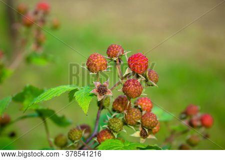 Blackberries On The Bush. Blackberry Is A Subgenus Of The Genus Rubus Of The Family Rosaceae. Macro.