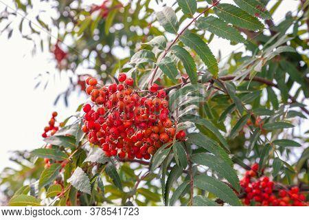 Red Rowan On A Branch. Rowan Berries With Green Leaves On Rowan Tree.