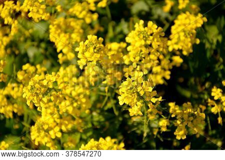 Shrub With Small Yellow Inflorescences. Flowering Shrubs.