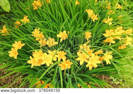 Bright flower bed with a yellow daylily in a country house.