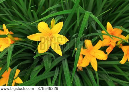 Bright yellow daylily flowers with green leaves. Close up