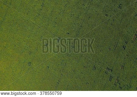 Green Country Agriculture Field With Row Lines, Aerial Top View.